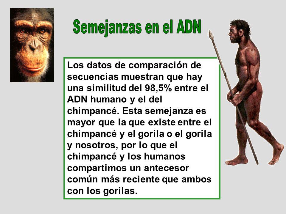 Los datos de comparación de secuencias muestran que hay una similitud del 98,5% entre el ADN humano y el del chimpancé. Esta semejanza es mayor que la