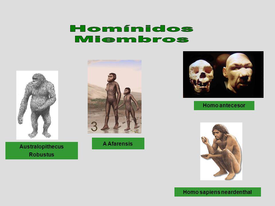 Australopithecus Robustus A Afarensis Homo antecesor Homo sapiens neardenthal