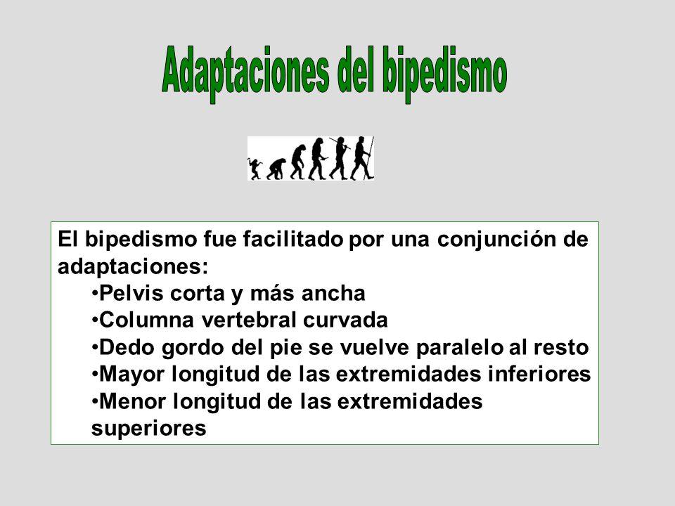 El bipedismo fue facilitado por una conjunción de adaptaciones: Pelvis corta y más ancha Columna vertebral curvada Dedo gordo del pie se vuelve paralelo al resto Mayor longitud de las extremidades inferiores Menor longitud de las extremidades superiores