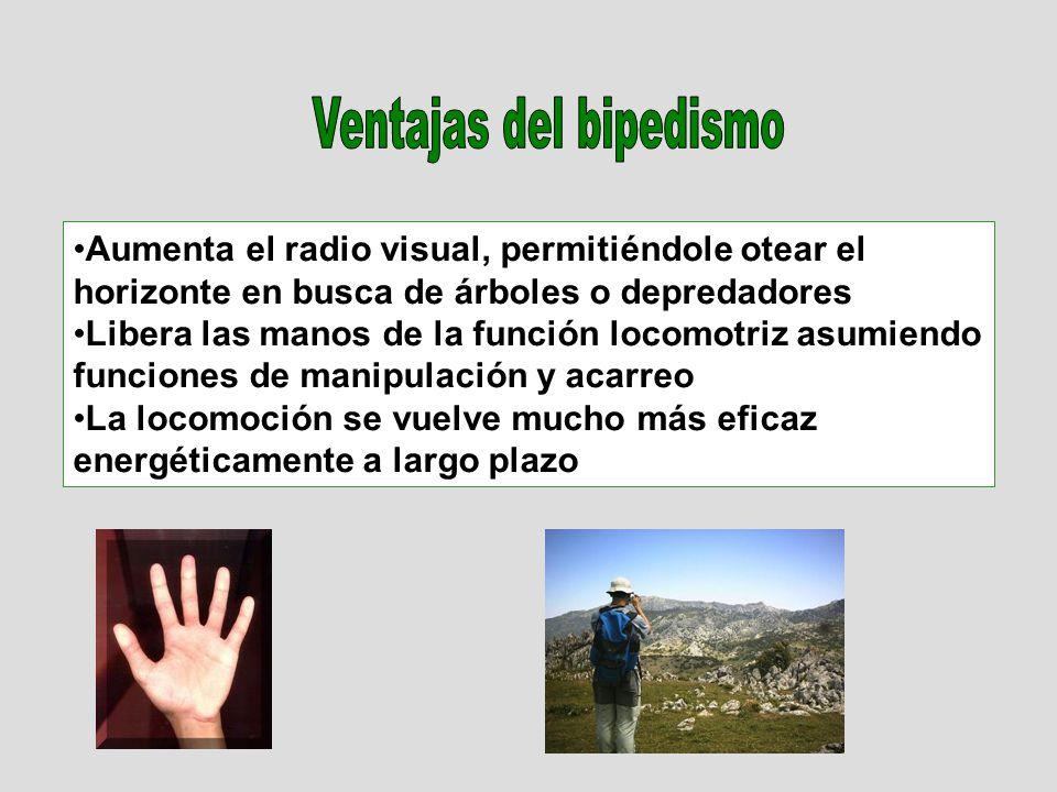 Aumenta el radio visual, permitiéndole otear el horizonte en busca de árboles o depredadores Libera las manos de la función locomotriz asumiendo funci