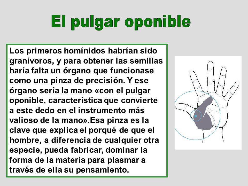 Los primeros homínidos habrían sido granívoros, y para obtener las semillas haría falta un órgano que funcionase como una pinza de precisión. Y ese ór