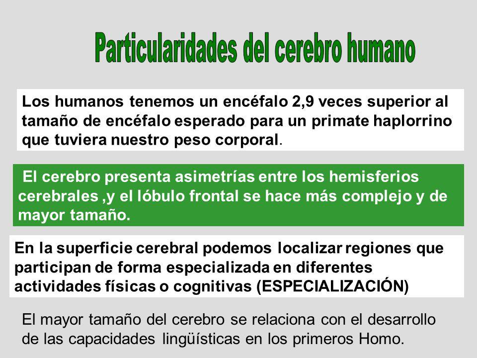 Los humanos tenemos un encéfalo 2,9 veces superior al tamaño de encéfalo esperado para un primate haplorrino que tuviera nuestro peso corporal. El cer