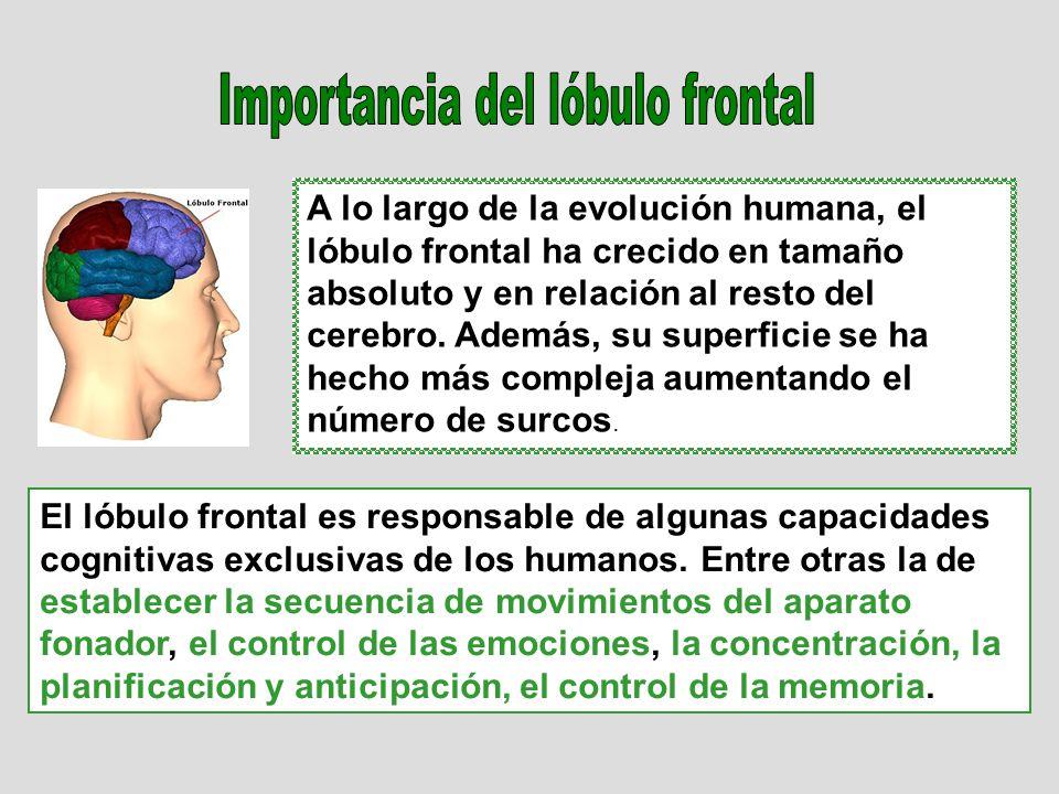 A lo largo de la evolución humana, el lóbulo frontal ha crecido en tamaño absoluto y en relación al resto del cerebro. Además, su superficie se ha hec