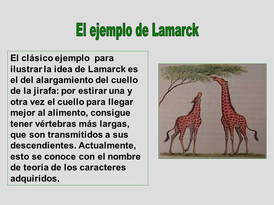 El clásico ejemplo para ilustrar la idea de Lamarck es el del alargamiento del cuello de la jirafa: por estirar una y otra vez el cuello para llegar mejor al alimento, consigue tener vértebras más largas, que son transmitidos a sus descendientes.