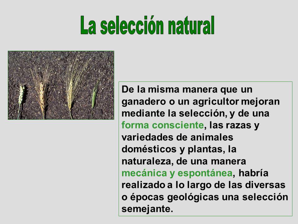 De la misma manera que un ganadero o un agricultor mejoran mediante la selección, y de una forma consciente, las razas y variedades de animales domést