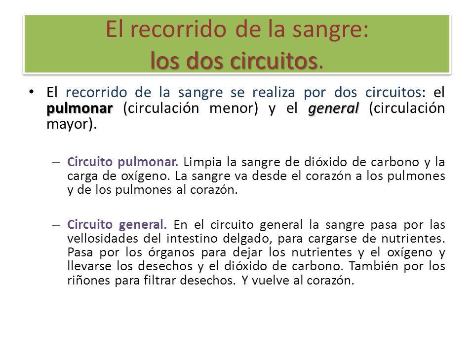 los dos circuitos El recorrido de la sangre: los dos circuitos. pulmonargeneral El recorrido de la sangre se realiza por dos circuitos: el pulmonar (c
