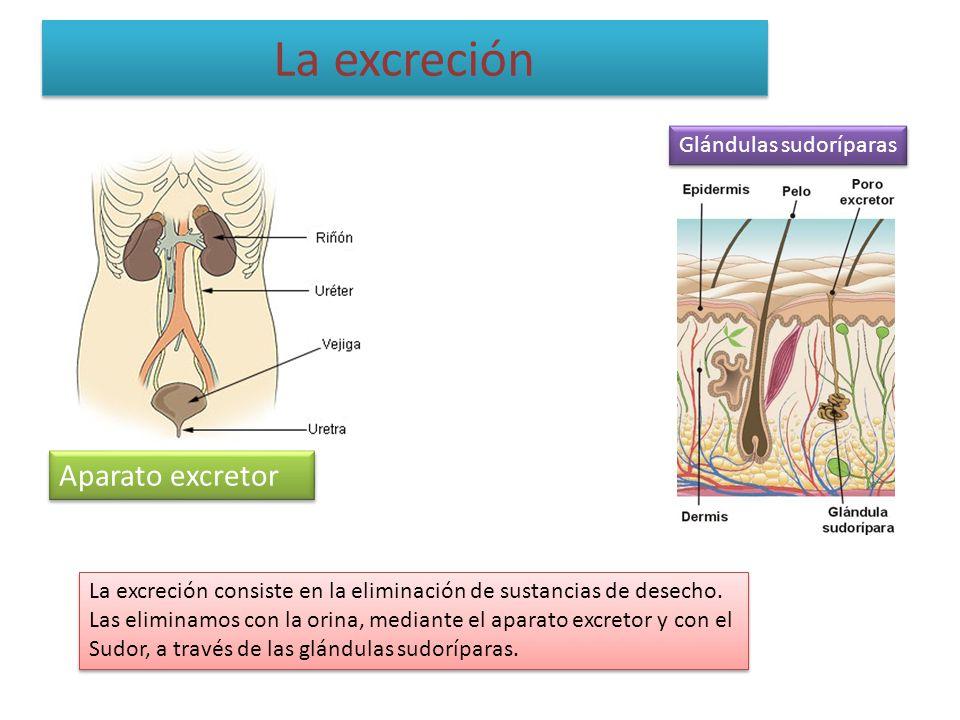 La excreción Aparato excretor Glándulas sudoríparas La excreción consiste en la eliminación de sustancias de desecho. Las eliminamos con la orina, med