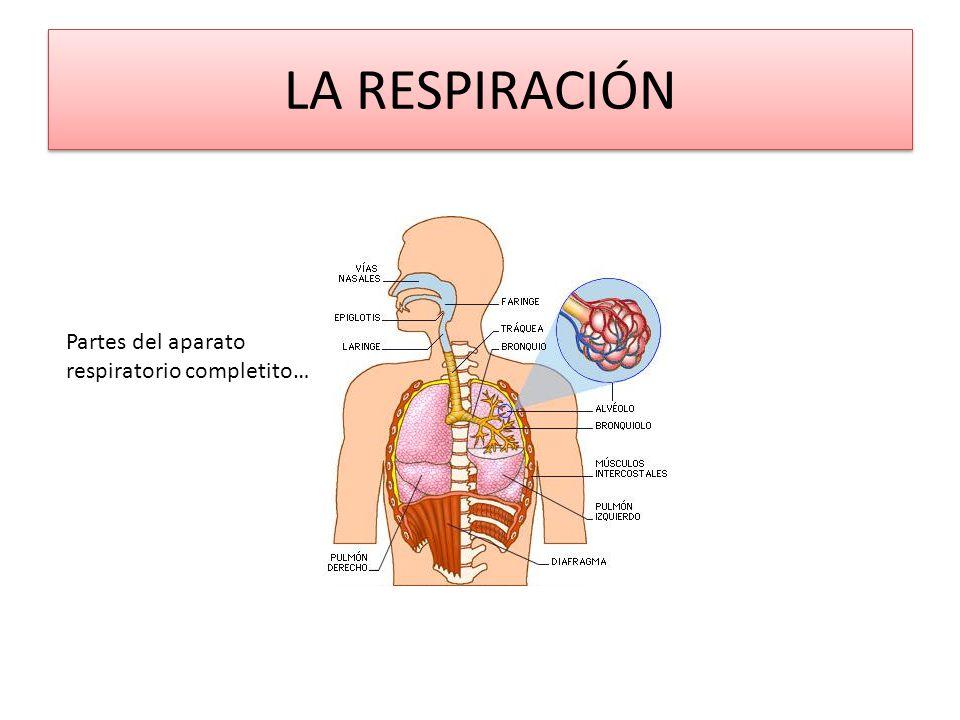 LA RESPIRACIÓN Partes del aparato respiratorio completito…