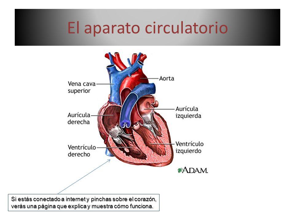 El aparato circulatorio Si estás conectado a internet y pinchas sobre el corazón, verás una página que explica y muestra cómo funciona.