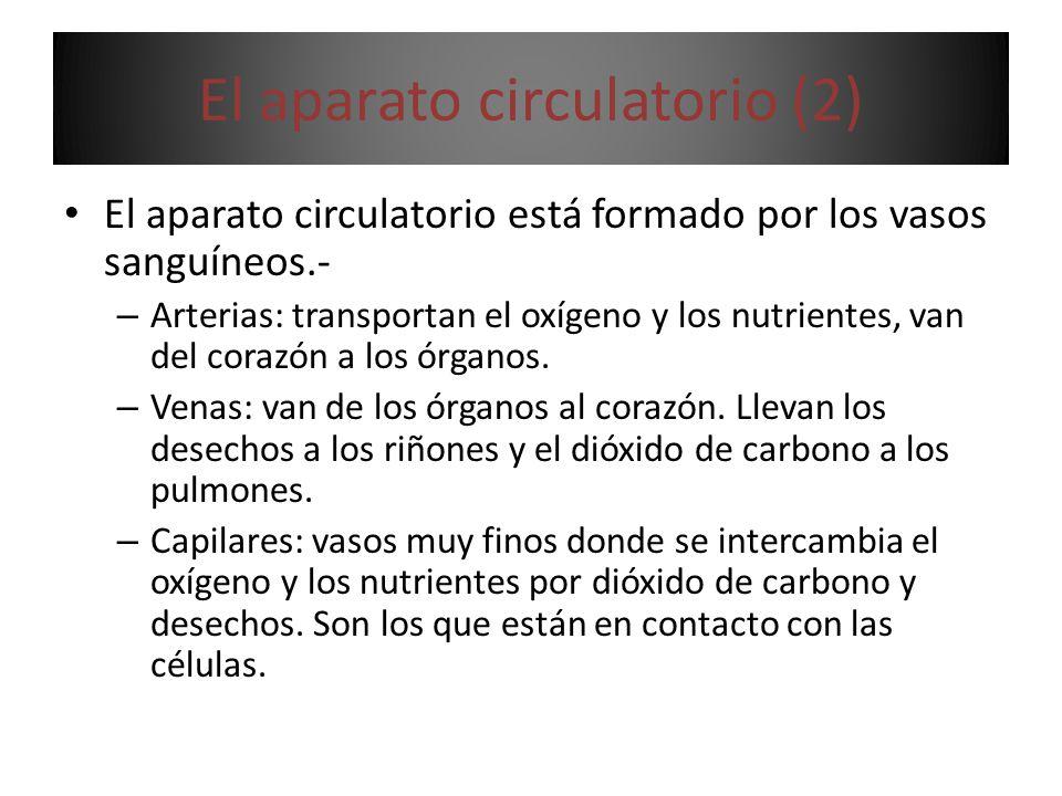 El aparato circulatorio (2) El aparato circulatorio está formado por los vasos sanguíneos.- – Arterias: transportan el oxígeno y los nutrientes, van del corazón a los órganos.