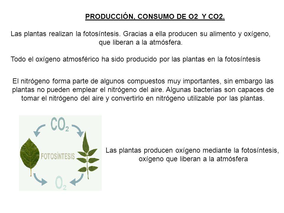 PRODUCCIÓN, CONSUMO DE O2 Y CO2. Las plantas realizan la fotosíntesis. Gracias a ella producen su alimento y oxígeno, que liberan a la atmósfera. Todo