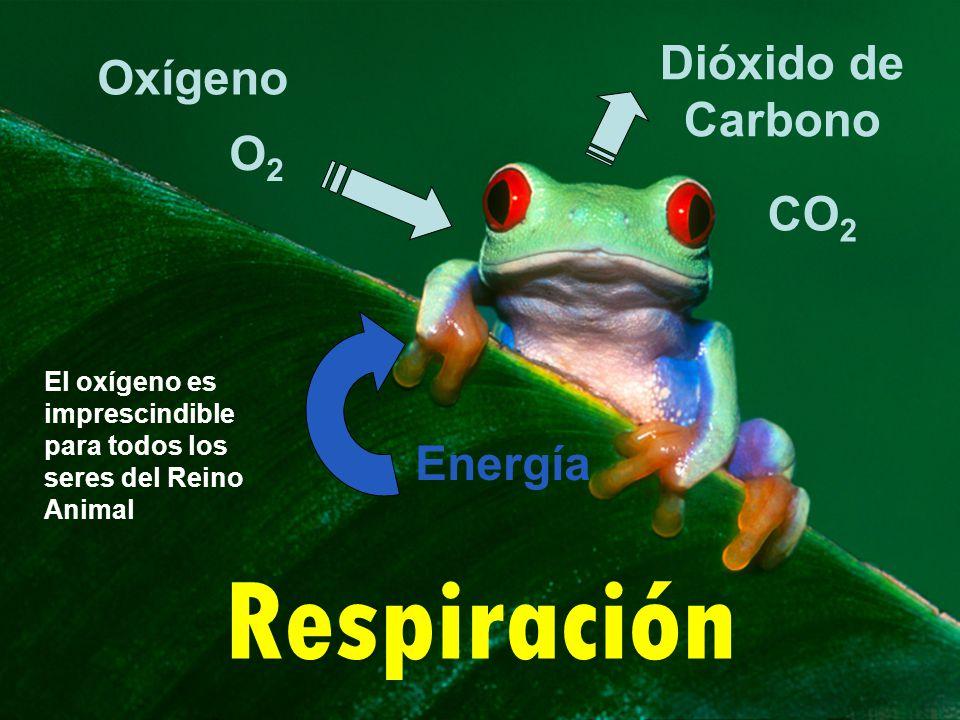 Respiración Dióxido de Carbono Oxígeno O2O2 CO 2 Energía El oxígeno es imprescindible para todos los seres del Reino Animal