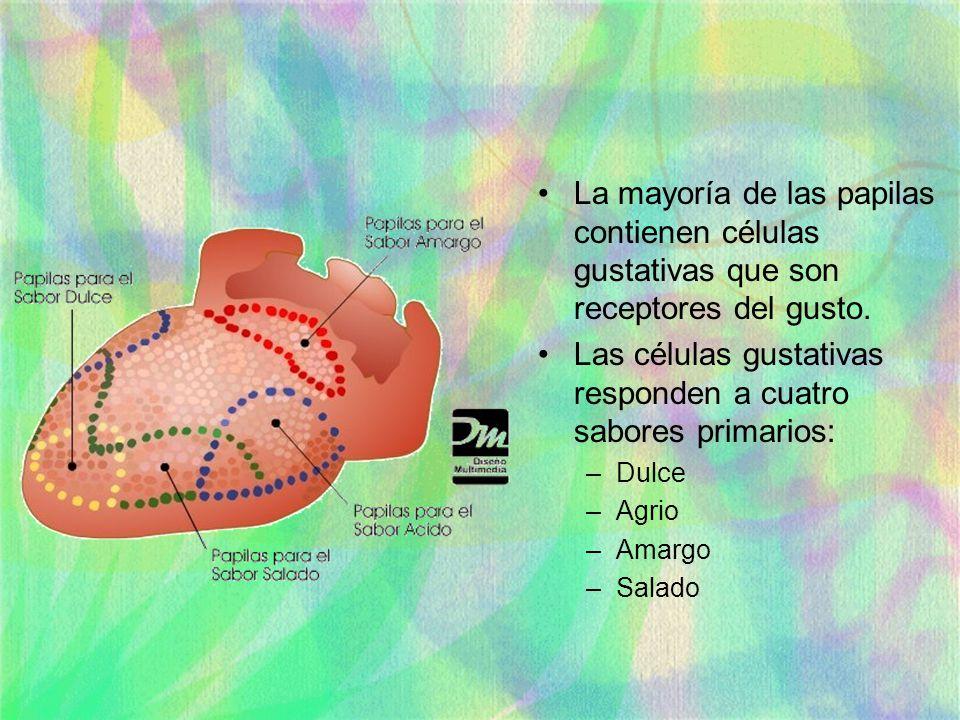 La mayoría de las papilas contienen células gustativas que son receptores del gusto. Las células gustativas responden a cuatro sabores primarios: –Dul