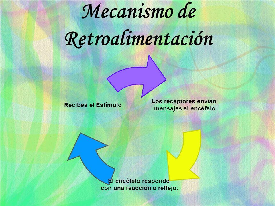 Mecanismo de Retroalimentación Los receptores envían mensajes al encéfalo El encéfalo responde con una reacción o reflejo. Recibes el Estímulo
