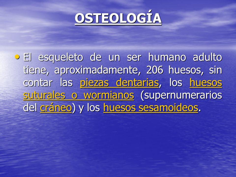 OSTEOLOGÍA El esqueleto de un ser humano adulto tiene, aproximadamente, 206 huesos, sin contar las piezas dentarias, los huesos suturales o wormianos