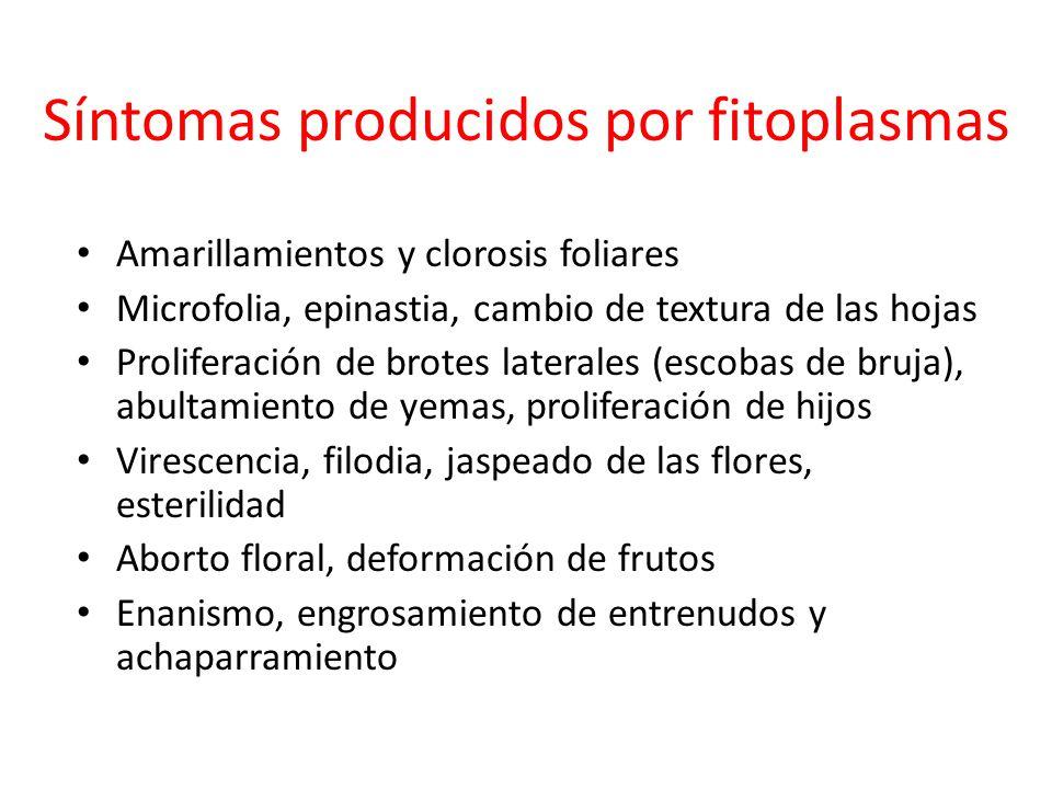 Síntomas producidos por fitoplasmas Amarillamientos y clorosis foliares Microfolia, epinastia, cambio de textura de las hojas Proliferación de brotes
