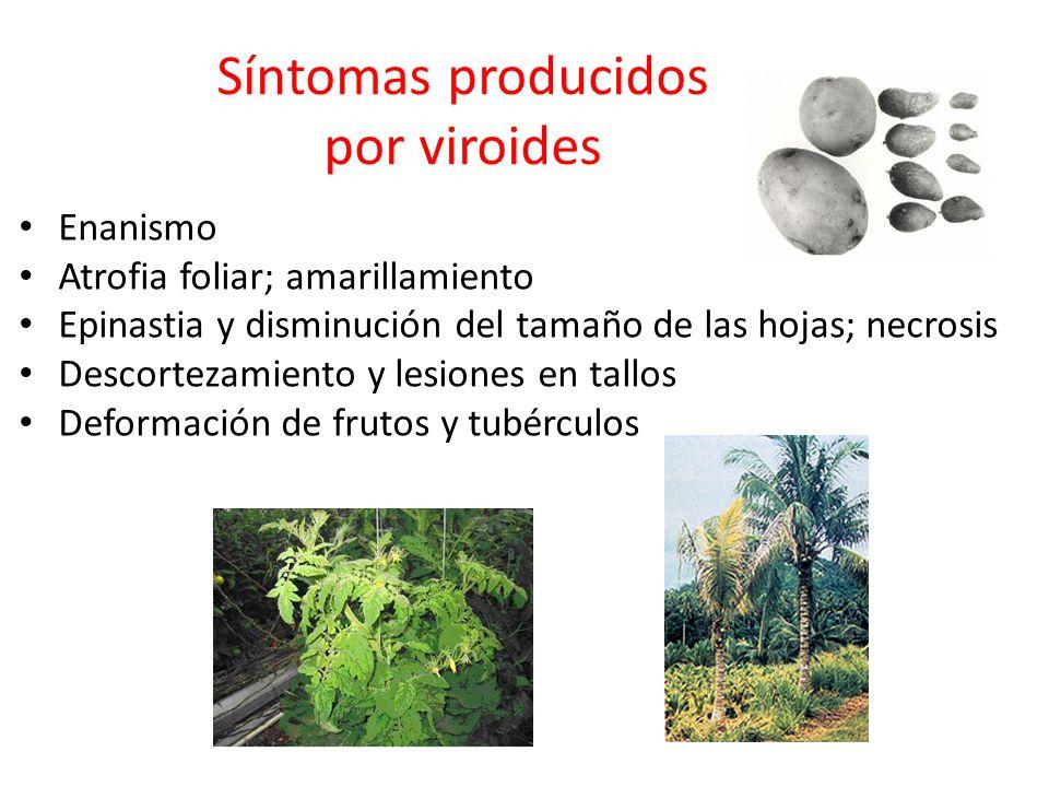 Síntomas producidos por viroides Enanismo Atrofia foliar; amarillamiento Epinastia y disminución del tamaño de las hojas; necrosis Descortezamiento y