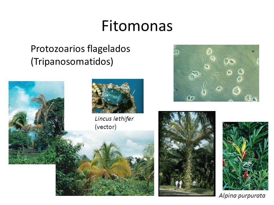Fitomonas Protozoarios flagelados (Tripanosomatidos) Lincus lethifer (vector) Alpina purpurata