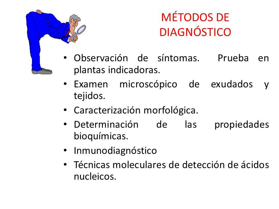 MÉTODOS DE DIAGNÓSTICO Observación de síntomas. Prueba en plantas indicadoras. Examen microscópico de exudados y tejidos. Caracterización morfológica.