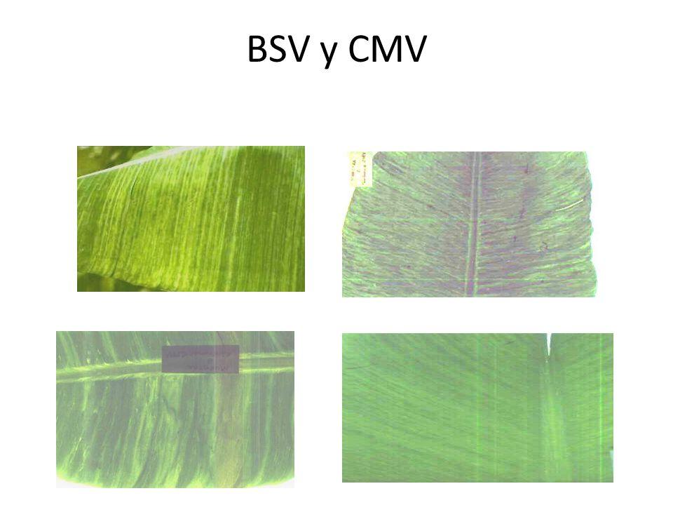 BSV y CMV