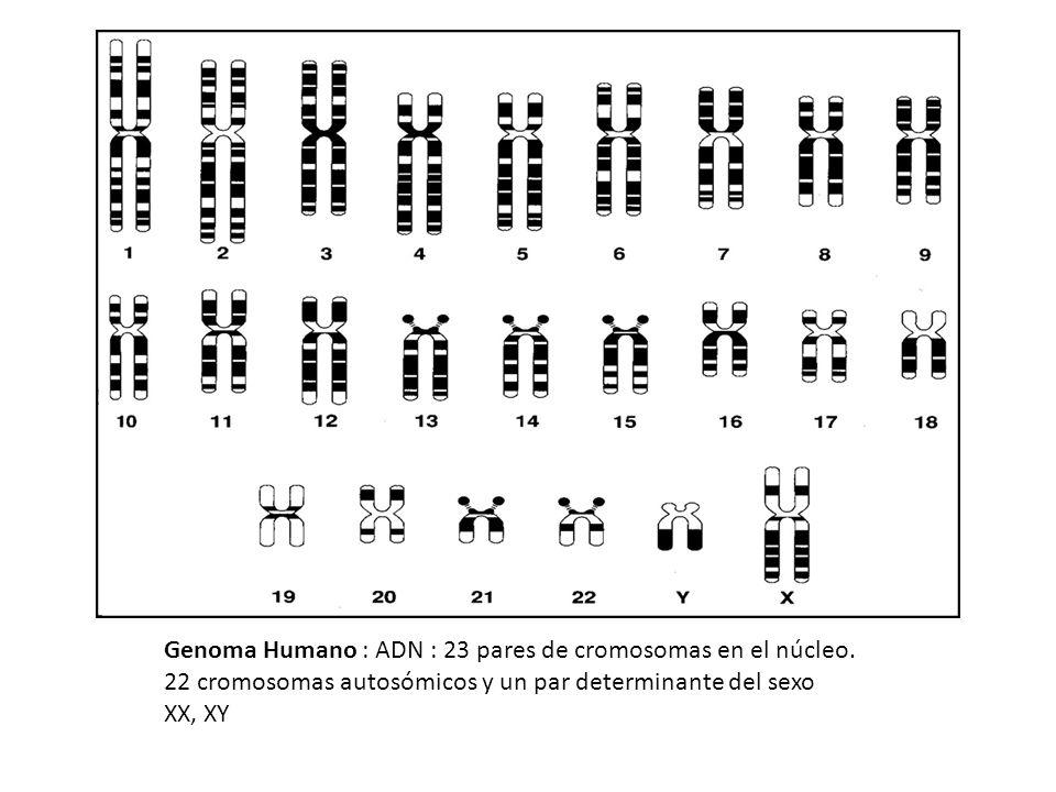Genoma Humano : ADN : 23 pares de cromosomas en el núcleo.