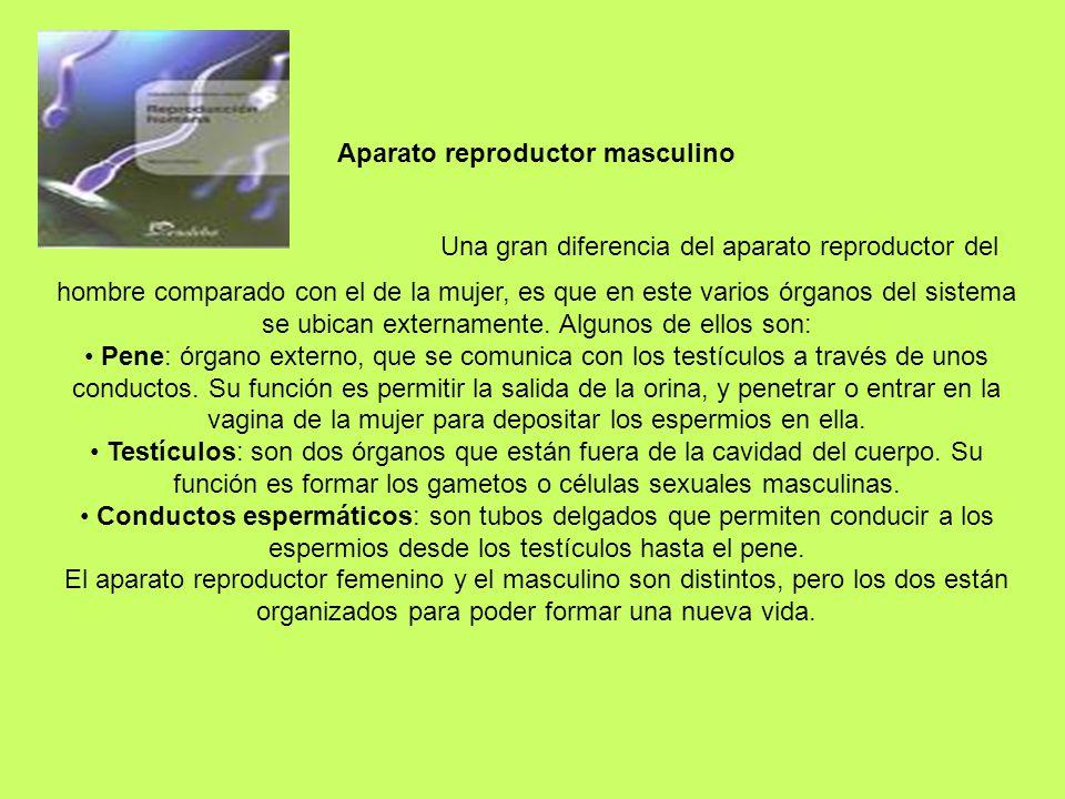 Aparato reproductor masculino Una gran diferencia del aparato reproductor del hombre comparado con el de la mujer, es que en este varios órganos del s
