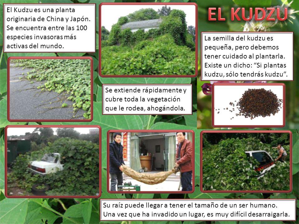 El Kudzu es una planta originaria de China y Japón. Se encuentra entre las 100 especies invasoras más activas del mundo. La semilla del kudzu es peque
