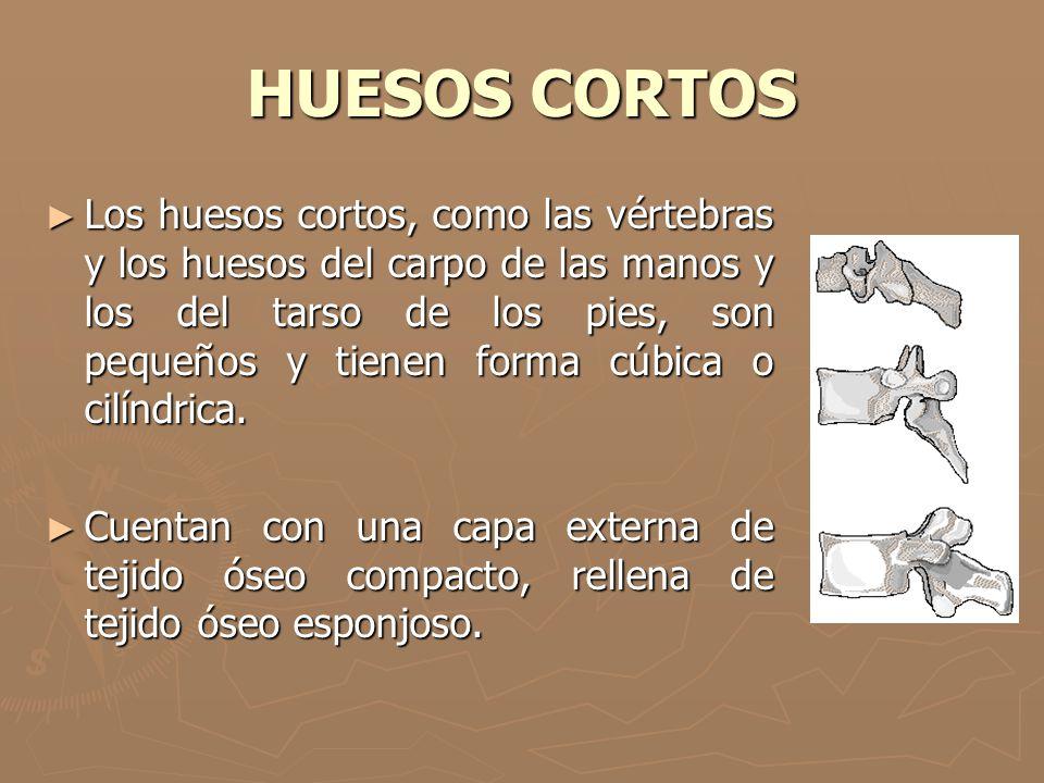 HUESOS CORTOS Los huesos cortos, como las vértebras y los huesos del carpo de las manos y los del tarso de los pies, son pequeños y tienen forma cúbic