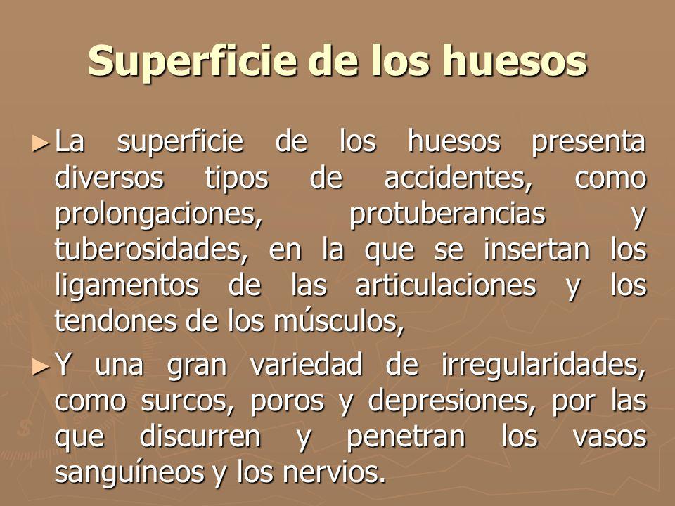 Superficie de los huesos La superficie de los huesos presenta diversos tipos de accidentes, como prolongaciones, protuberancias y tuberosidades, en la