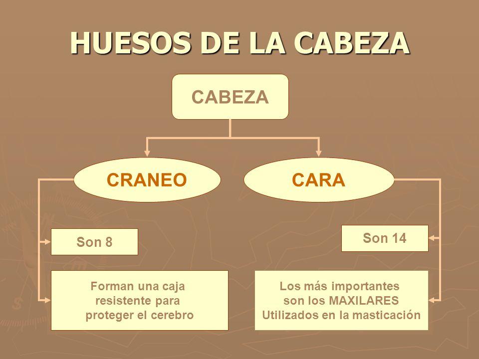 HUESOS DE LA CABEZA CABEZA CRANEOCARA Son 8 Son 14 Forman una caja resistente para proteger el cerebro Forman una caja resistente para proteger el cer