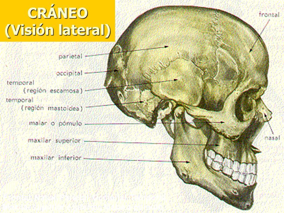 CRÁNEO (Visión lateral) Frontal, Nasal, Parietal, Occipital, Temporal, Maxilar superior e inferior, Malar o pómulo