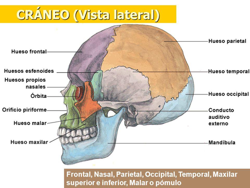 CRÁNEO (Vista lateral) Frontal, Nasal, Parietal, Occipital, Temporal, Maxilar superior e inferior, Malar o pómulo