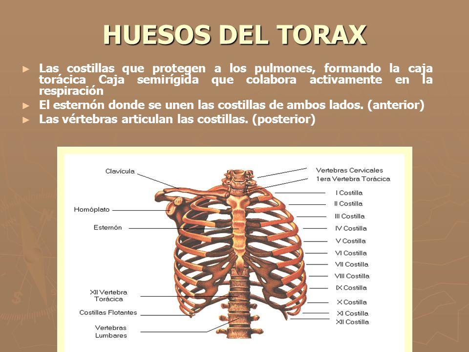 HUESOS DEL TORAX Las costillas que protegen a los pulmones, formando la caja torácica Caja semirígida que colabora activamente en la respiración El es