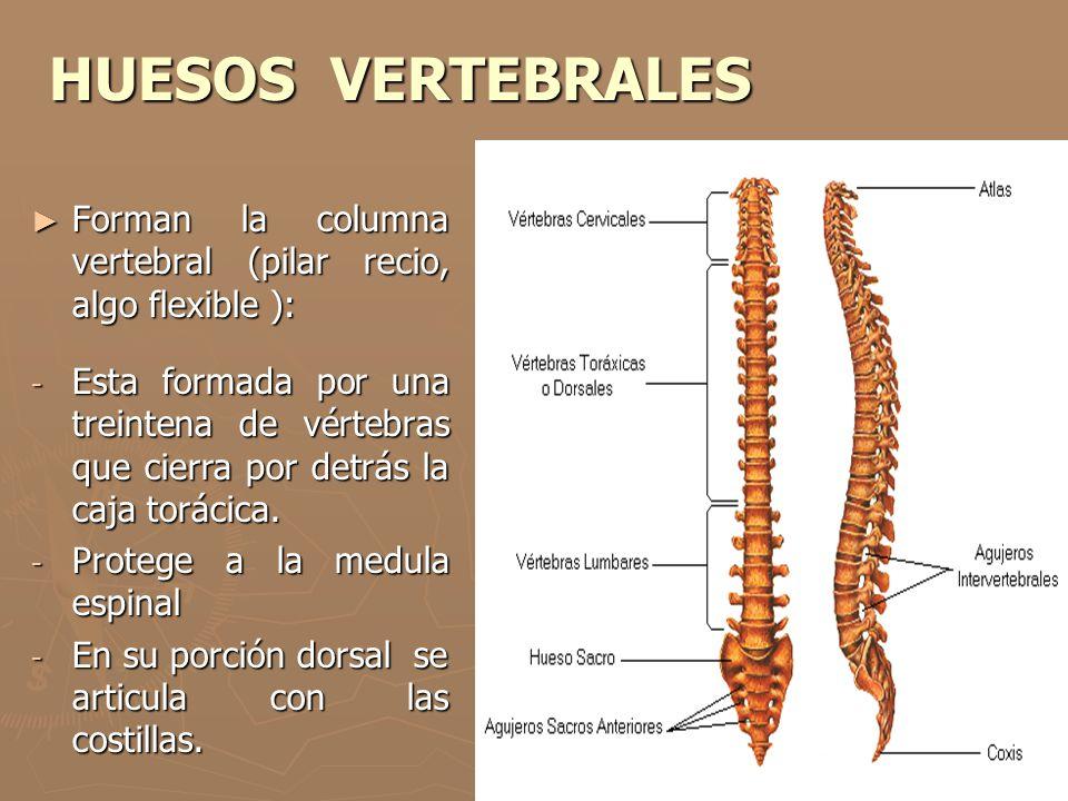 HUESOS VERTEBRALES Forman la columna vertebral (pilar recio, algo flexible ): Forman la columna vertebral (pilar recio, algo flexible ): - Esta formad