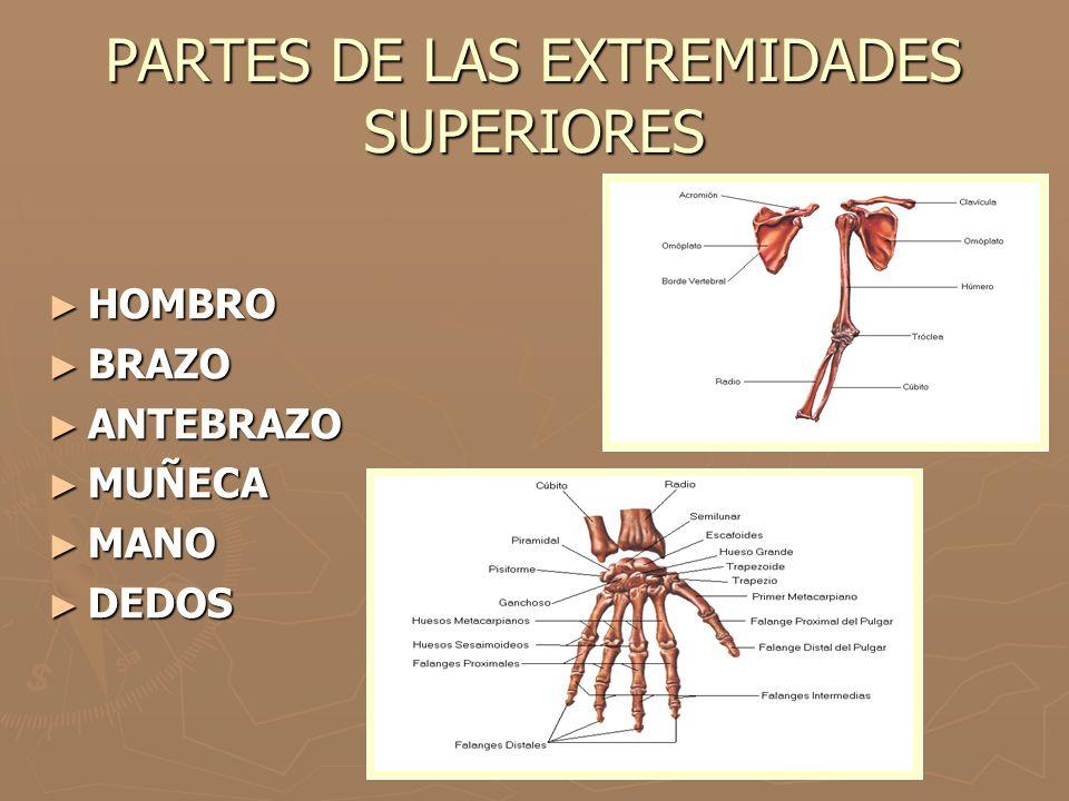 PARTES DE LAS EXTREMIDADES SUPERIORES HOMBRO HOMBRO BRAZO BRAZO ANTEBRAZO ANTEBRAZO MUÑECA MUÑECA MANO MANO DEDOS DEDOS
