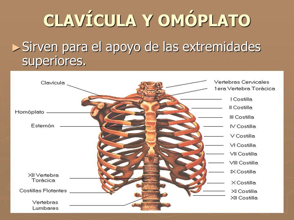 CLAVÍCULA Y OMÓPLATO Sirven para el apoyo de las extremidades superiores. Sirven para el apoyo de las extremidades superiores.