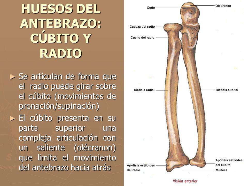 HUESOS DEL ANTEBRAZO: CÚBITO Y RADIO Se articulan de forma que el radio puede girar sobre el cúbito (movimientos de pronación/supinación) Se articulan