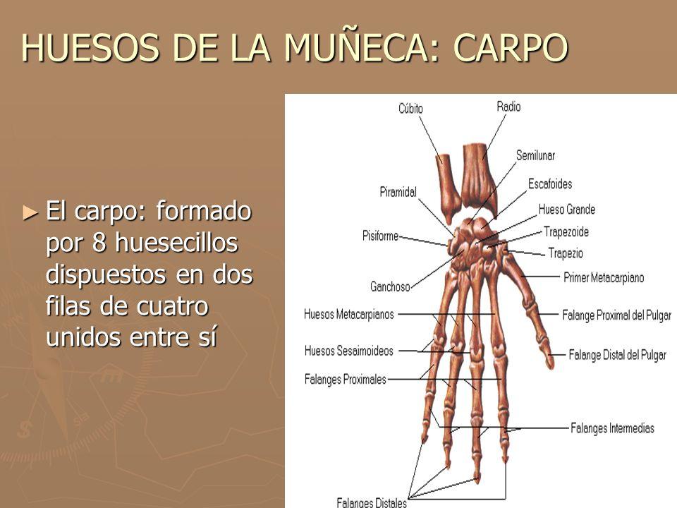 HUESOS DE LA MUÑECA: CARPO El carpo: formado por 8 huesecillos dispuestos en dos filas de cuatro unidos entre sí El carpo: formado por 8 huesecillos d