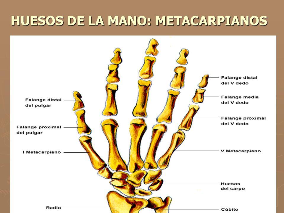 HUESOS DE LA MANO: METACARPIANOS