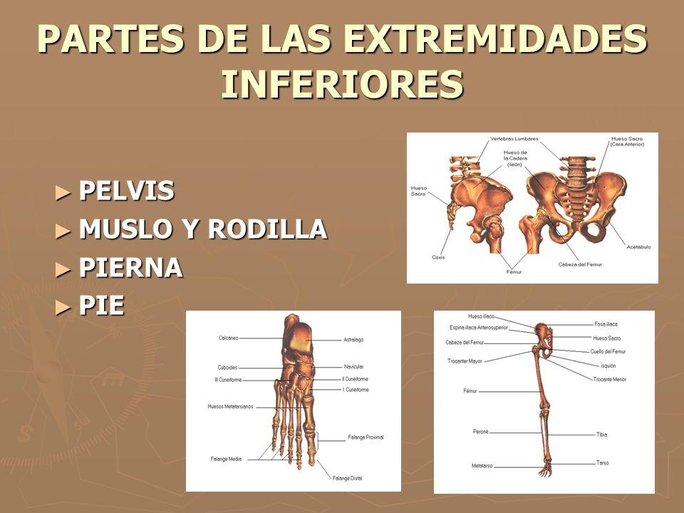 PARTES DE LAS EXTREMIDADES INFERIORES PELVIS PELVIS MUSLO Y RODILLA MUSLO Y RODILLA PIERNA PIERNA PIE PIE