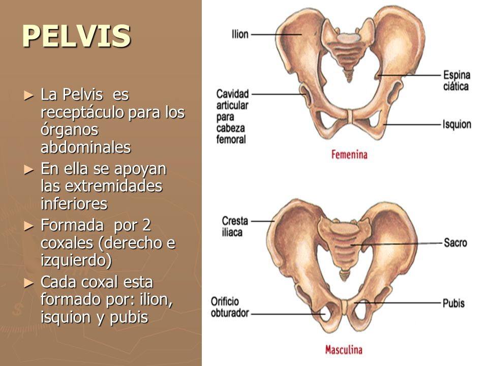 PELVIS La Pelvis es receptáculo para los órganos abdominales La Pelvis es receptáculo para los órganos abdominales En ella se apoyan las extremidades
