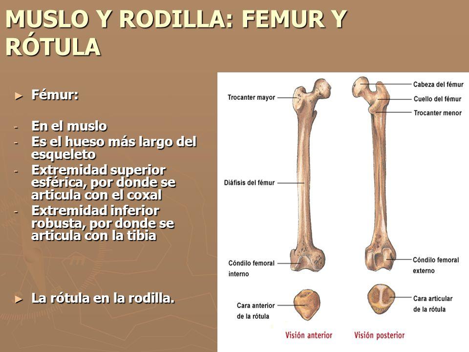 MUSLO Y RODILLA: FEMUR Y RÓTULA Fémur: Fémur: - En el muslo - Es el hueso más largo del esqueleto - Extremidad superior esférica, por donde se articul