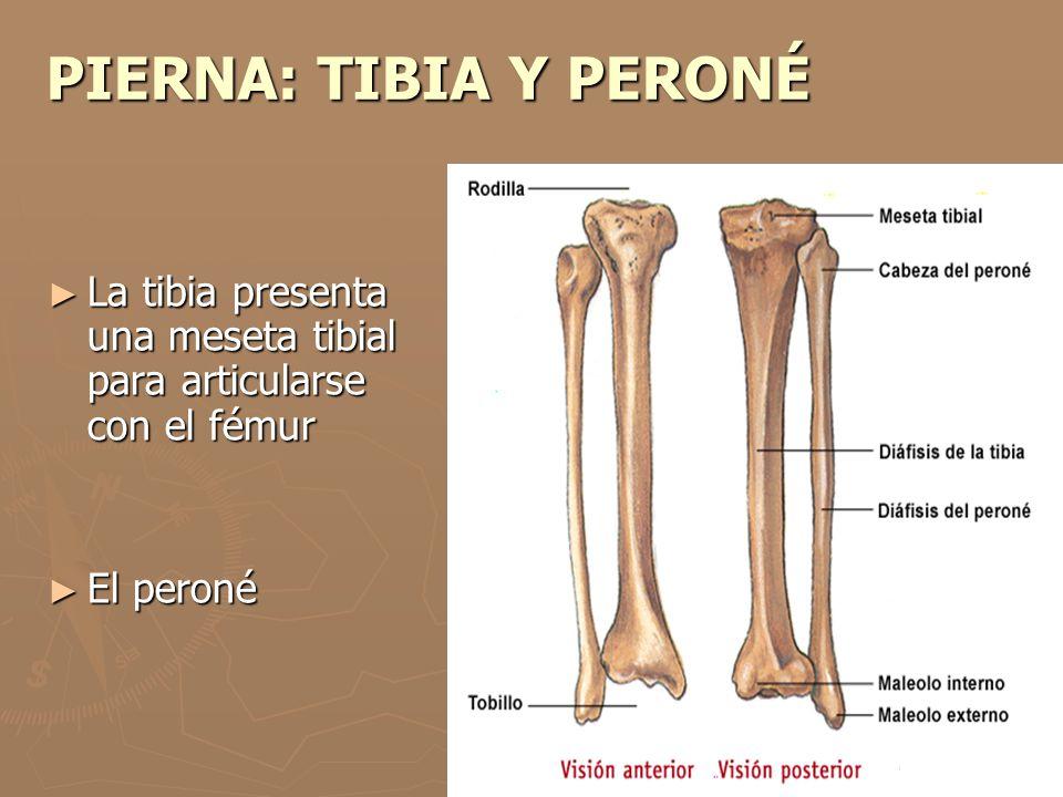 PIERNA: TIBIA Y PERONÉ La tibia presenta una meseta tibial para articularse con el fémur La tibia presenta una meseta tibial para articularse con el f