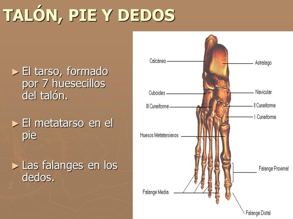 TALÓN, PIE Y DEDOS El tarso, formado por 7 huesecillos del talón. El tarso, formado por 7 huesecillos del talón. El metatarso en el pie El metatarso e