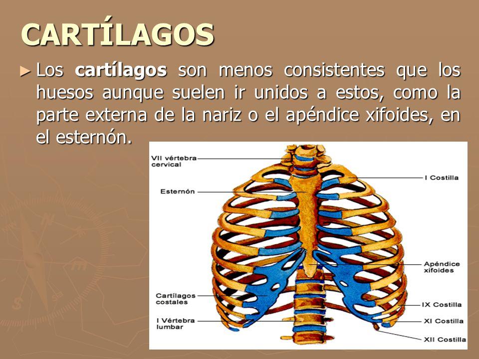 CARTÍLAGOS Los cartílagos son menos consistentes que los huesos aunque suelen ir unidos a estos, como la parte externa de la nariz o el apéndice xifoi