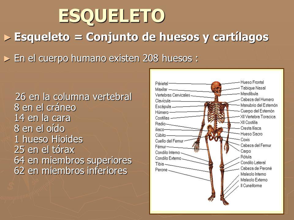 ESQUELETO Esqueleto = Conjunto de huesos y cartílagos Esqueleto = Conjunto de huesos y cartílagos En el cuerpo humano existen 208 huesos : En el cuerp