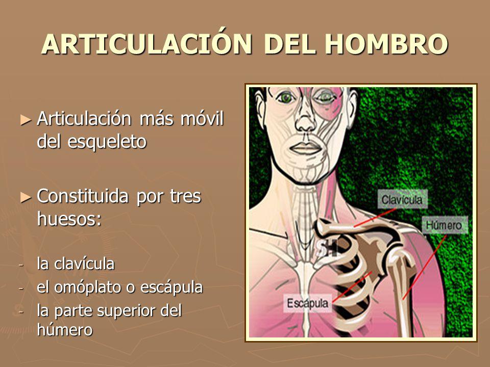 ARTICULACIÓN DEL HOMBRO Articulación más móvil del esqueleto Articulación más móvil del esqueleto Constituida por tres huesos: Constituida por tres hu