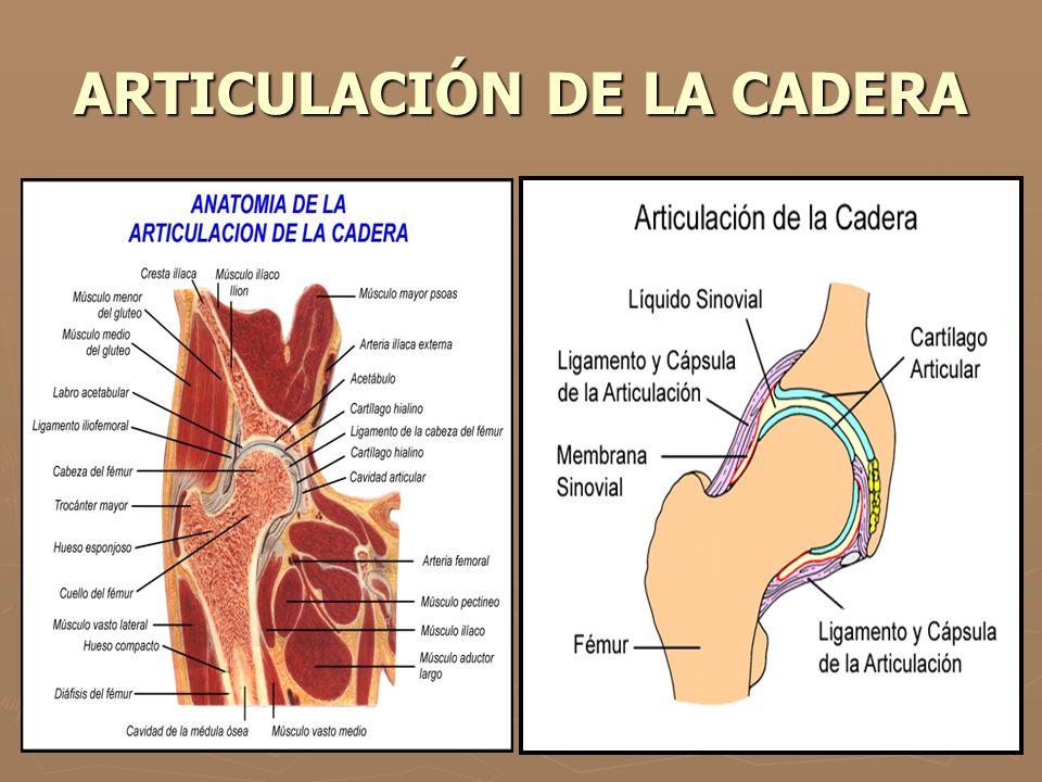 ARTICULACIÓN DE LA CADERA