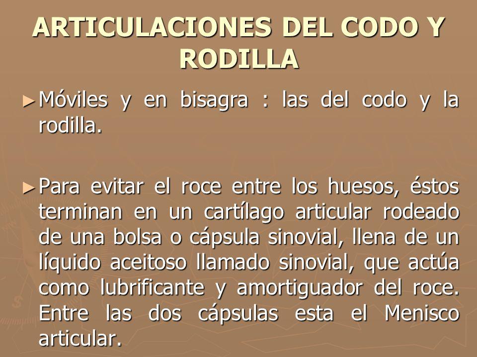 ARTICULACIONES DEL CODO Y RODILLA Móviles y en bisagra : las del codo y la rodilla. Móviles y en bisagra : las del codo y la rodilla. Para evitar el r