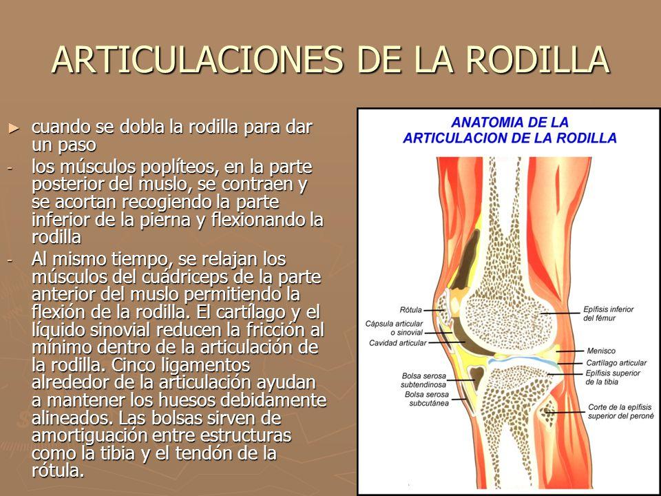 ARTICULACIONES DE LA RODILLA cuando se dobla la rodilla para dar un paso cuando se dobla la rodilla para dar un paso - los músculos poplíteos, en la p